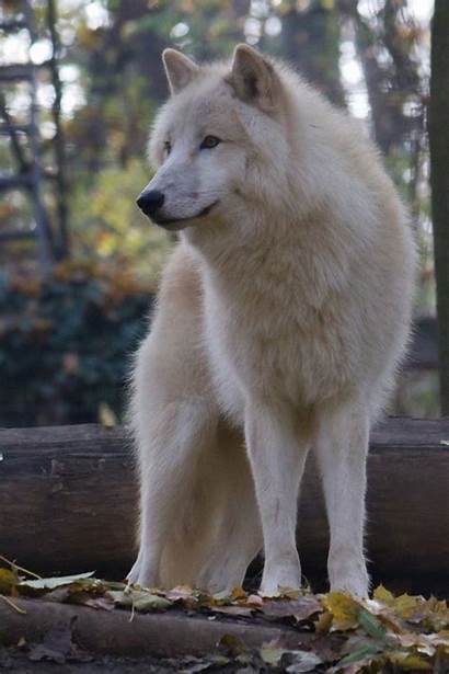 Wolf Arctic Animals Wolves Reproduction Wild Female