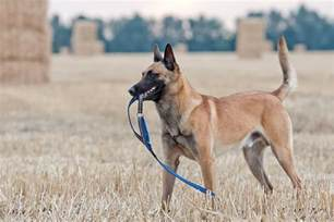 belgian malinois dog breed information