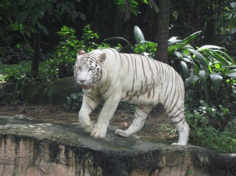 white zoo file white tigers singapore zoo 11 jpg wikimedia commons