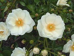Bodendecker Gelb Blühend : bodendecker rose ~ Frokenaadalensverden.com Haus und Dekorationen