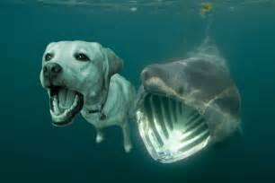 Basking Shark Eating People