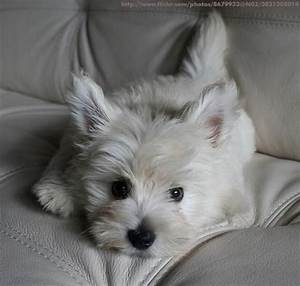 wild about westies