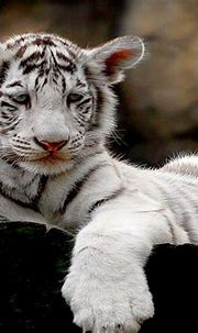 White Tiger Cubs Wallpaper Cute | Wallpapers Gallery