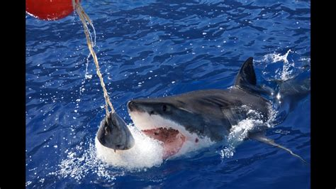 great white shark dive great white sharks cage diving at guadalupe island