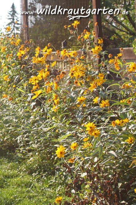 Pflanze Des Monat Januar  Topinambur Wildkrautgarten