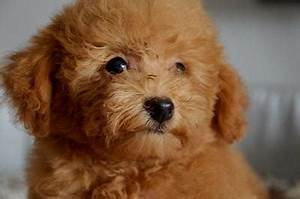Poodle Puppies Sold - 5 Years 9 Months, Toy Poodle - Brown ...