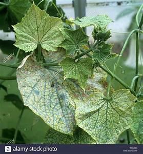 Spinnmilben An Gurken : tetranychus urticae stockfotos tetranychus urticae ~ Lizthompson.info Haus und Dekorationen