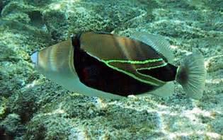 Hawaii State Fish Name