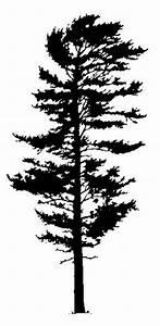 1000+ images about FIR TREE on Pinterest | Firs, Douglas ...