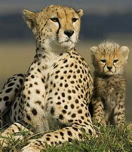 Big Cat Diary Cheetahs