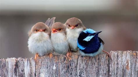 cute  birds hd wallpaper wallpaperfx