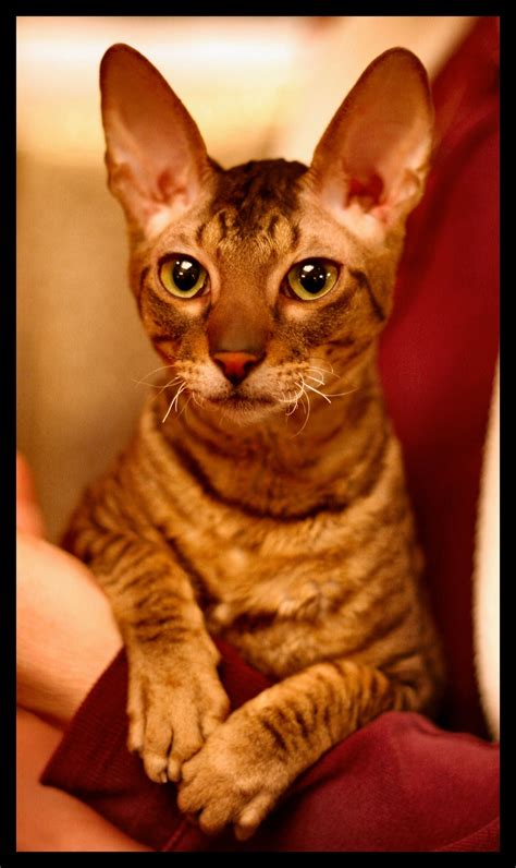 awesome cornish rex cat pictures  images