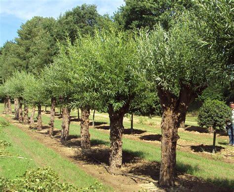 salix alba white willow tree