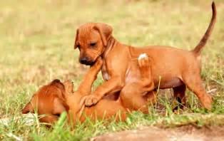 rhodesian ridgeback rhodesian ridgeback pet insurance