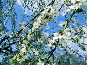 Rosa Blühende Bäume April : der fr hling sch ne bl hende b ume zweige stockfoto colourbox ~ Michelbontemps.com Haus und Dekorationen