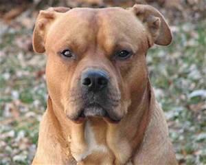 American Bullador : American Bulldog Lab Mix