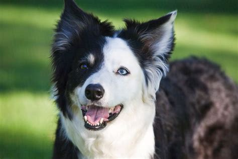 Do Collies Shed A Lot by The 25 Best Border Collie Shedding Ideas On