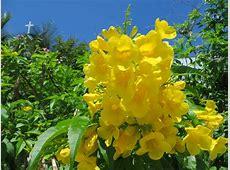 YELLOW ELDER – THE BAHAMAS NATIONAL FLOWER ROLLING