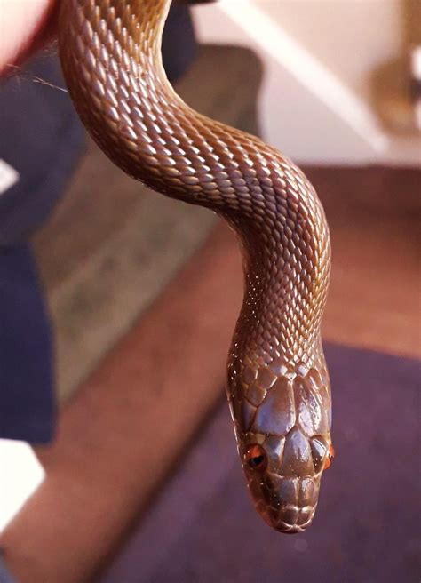 Olive house snake : snakes