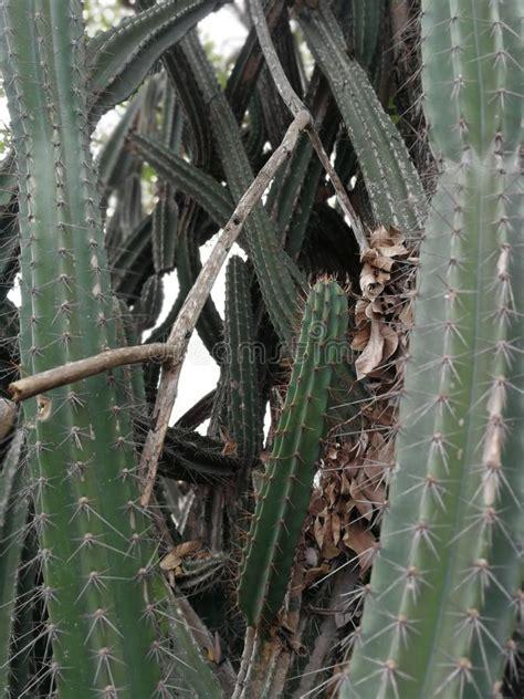 Cuctus In Thailand, Beautiful Cactus Stock Photo - Image ...