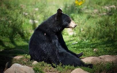 Bear Desktop Animal Laptop Resolution