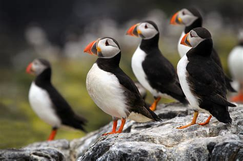 not the puffins another 4 bird species facing extinction