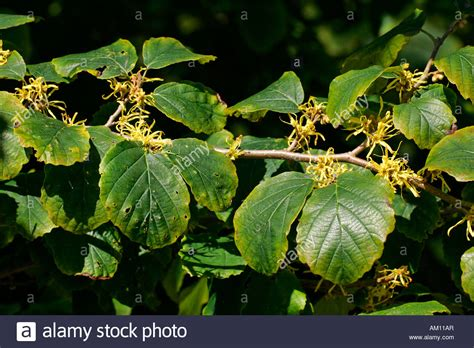 hamamelis virginiana plant flowering american witch hazel medicinal plant hamamelis stock photo royalty free image