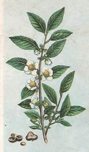 01. Frontispiece: Chinese tea plant. | Henriette's Herbal ...