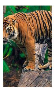 Tiger In The Trees 4k Ultra Hd Wallpaper For Desktop ...
