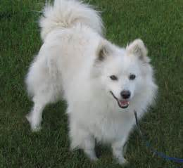 american eskimo about temperament health names grooming