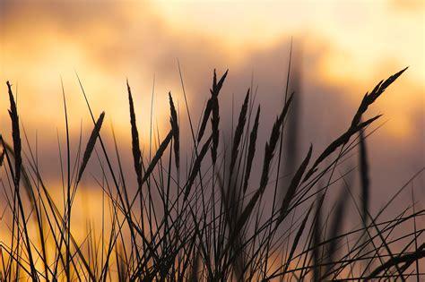 silhouette photo  wheat  sunset  stock photo
