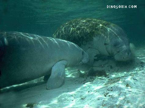 Siréniens . Lamantin. Dugong. En Images. Dinosoria