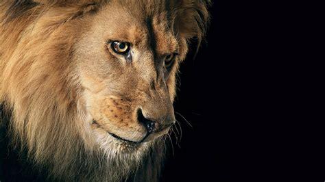 lion wallpaper hd p wallpaper hd p