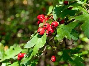 Busch Mit Roten Beeren : rote beeren eines wei dorn auf einer wiese stockfoto colourbox ~ Markanthonyermac.com Haus und Dekorationen