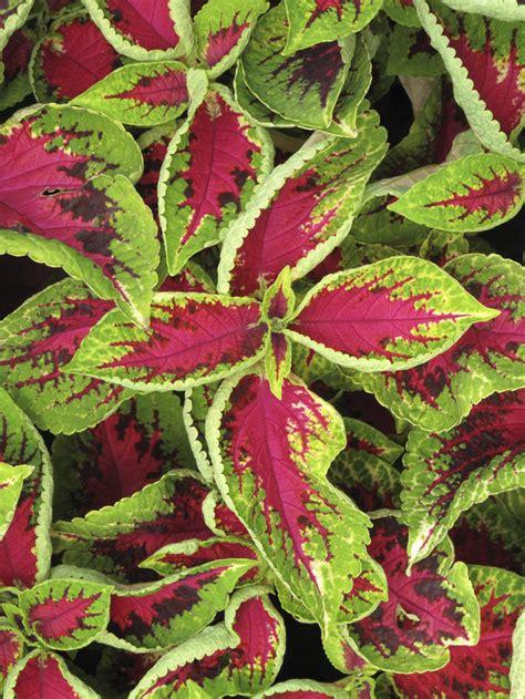 Zimmerpflanze Rot Grüne Blätter by Attraktive Gr 252 Npflanzen Mein Sch 246 Ner Garten