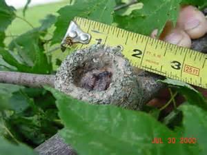 What Looks Like a Hummingbird Nest