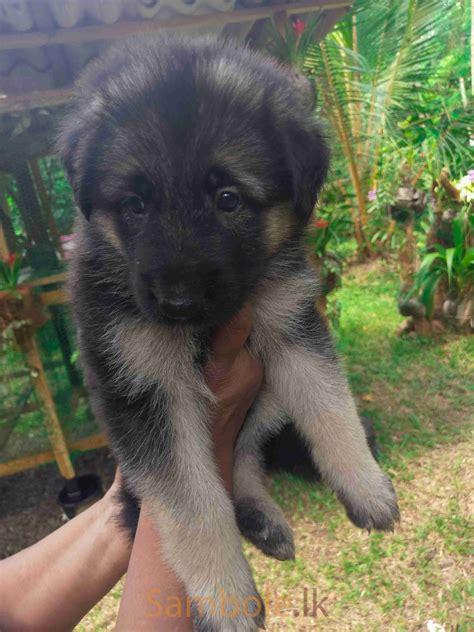 Lion Shepherd puppies for sale - Sambole.lk