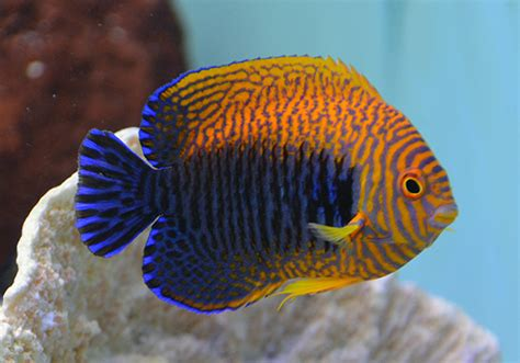 fishy aquarium livestock fish potters angel
