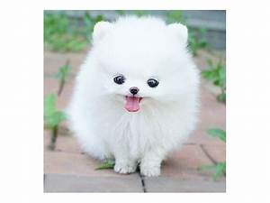 TEACUP POMERANIAN | Pomeranian Dog | ShowMe