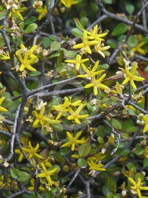 corokia cotoneaster wire netting bush information