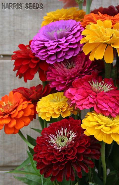 zinnia benarys giant mix beauty   flowers