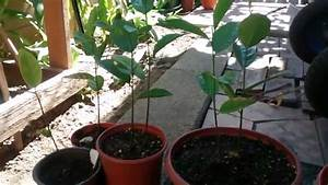 Update 2 mos: My Jackfruit tree grown from seeds - YouTube