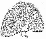 Peacock Coloring Pages Print Animal sketch template