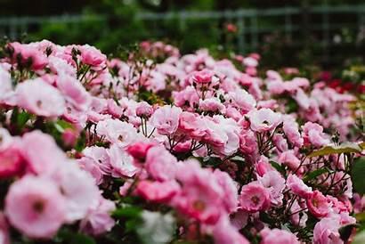 Bush Rose Wallpapers