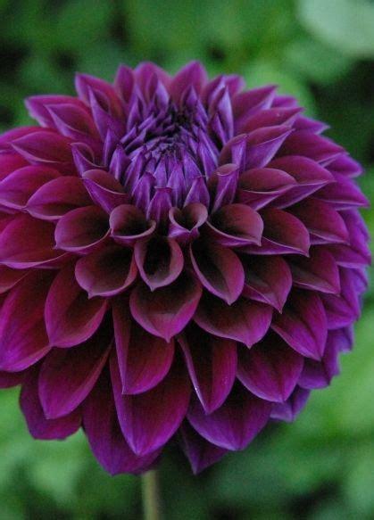 dahlia diva  incredible dark purple blooms