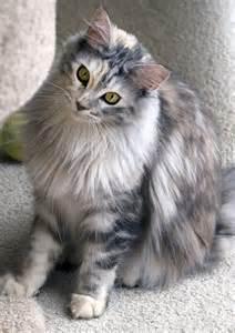Grey Tortie Maine Coon Cat