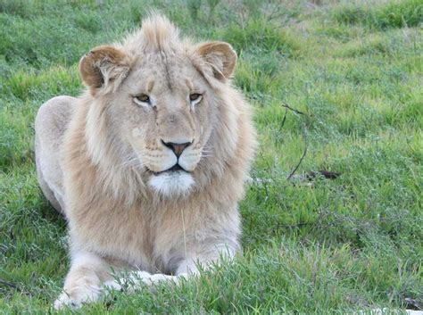 Löwen Fotogalerie  Landtiere  Kapstadt In Südafrika