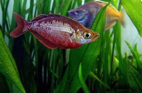 types  rainbow fish  types  popular aquarium
