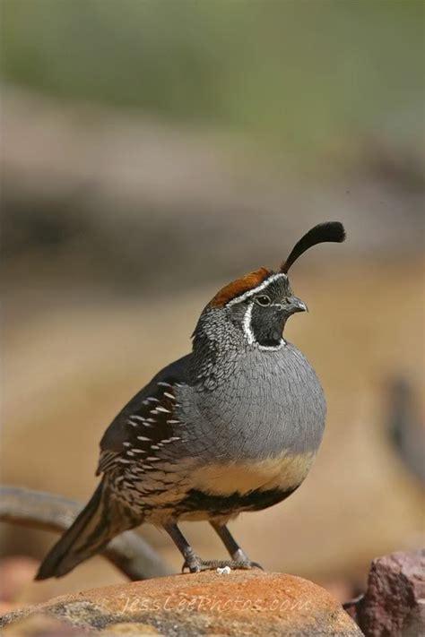 birds of southern nevada southern nevada chukar hunt