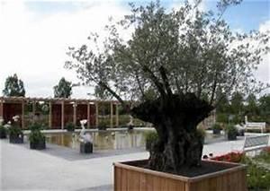 Olivenbaum Im Wohnzimmer überwintern : k belpflanzen berwintern balkon terrasse g rtner tipps ~ Markanthonyermac.com Haus und Dekorationen